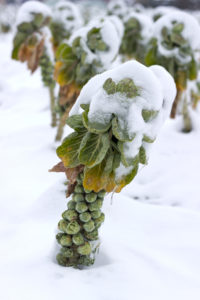 Brussels sprouts under the snow